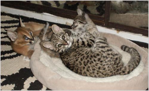 Котята кошки Жоффруа
