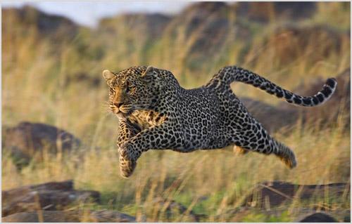 Фото бегущего леопарда