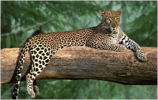 Аравийский леопард