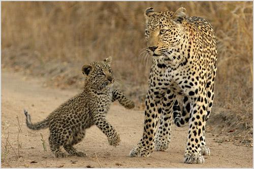 Самка леопарда со своим детенышем