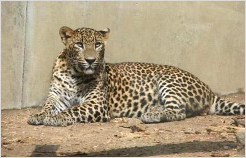 Севернокитайский леопард
