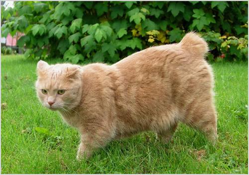Кот породы мэнкс гуляет по траве