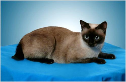 Кошка породы меконгский бобтейл