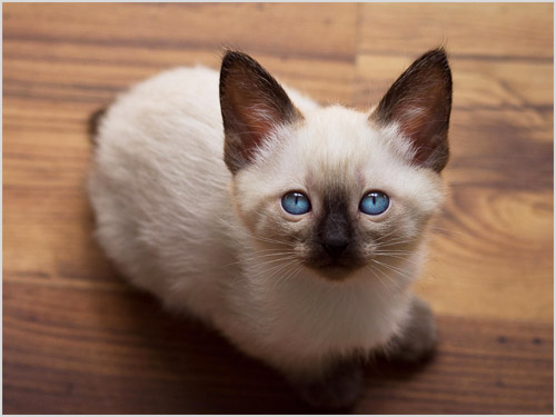 Котенок меконгского бобтейла
