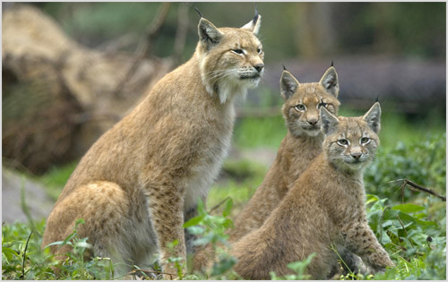 Обыкновенная рысь со своими котятами