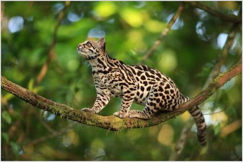 Кошка онцилла сидит на дереве