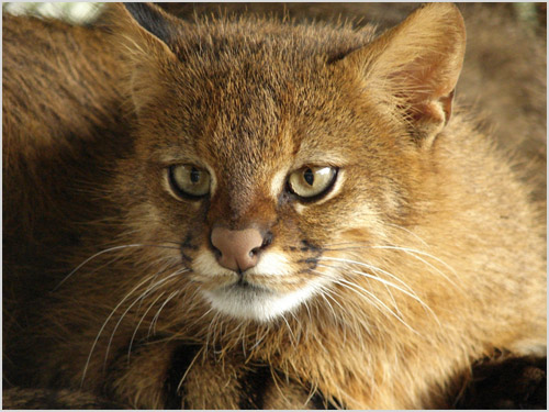 Фото пампасской кошки
