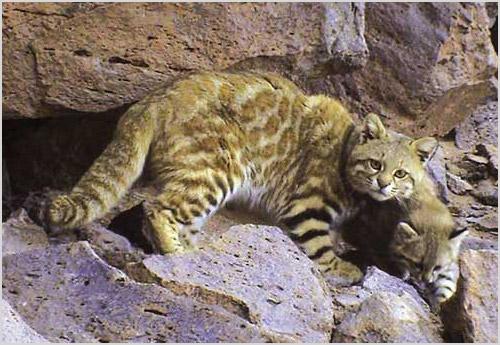 Пампасская кошка со своим детенышем