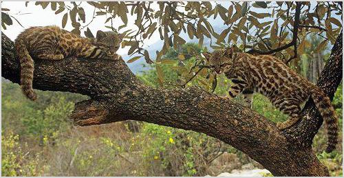 Пампасские кошки лазают по деревьям