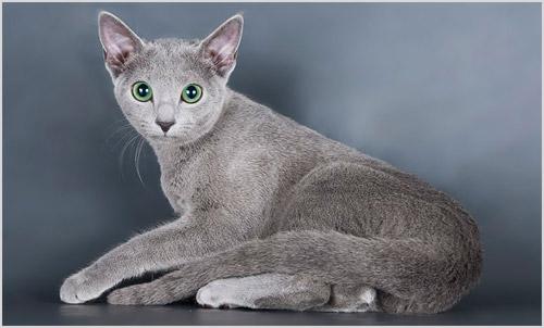 Кошка породы русская голубая