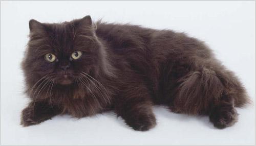 Фото кошки шантильи-тиффани