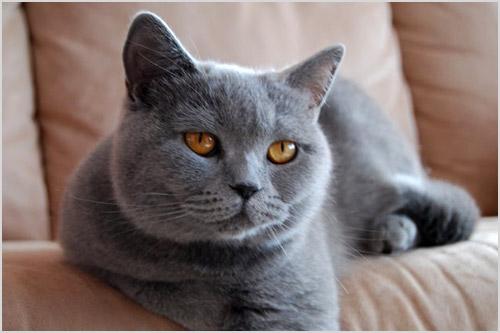 Фото кошки шартрез
