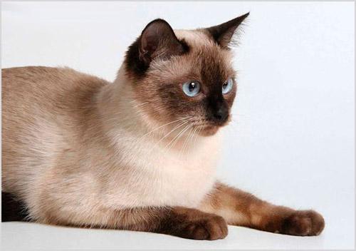 Фото тайской кошки
