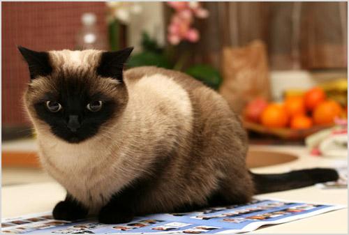 Кошка тайской породы сидит на столе