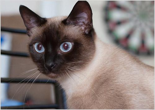 Фото кошки тайской породы