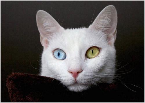 Фото ангорской кошки с разноцветными глазами
