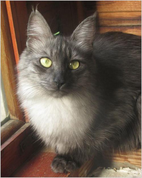 Фото ангорской кошки