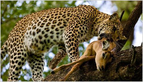 Охота африканского леопарда