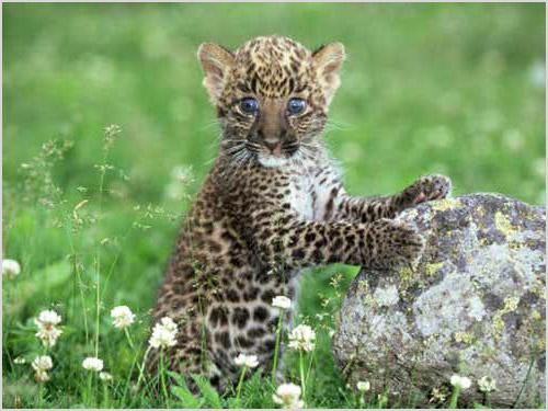 Детеныш африканского леопарда