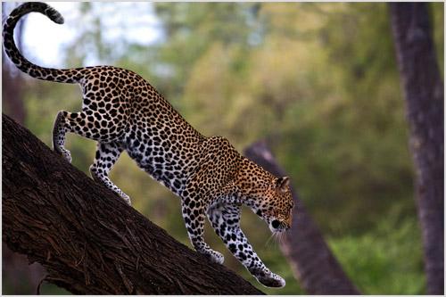 Африканский леопард лазает по деревьям