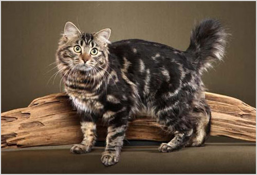 Кот породы американский бобтейл