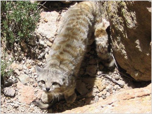 Кошка лазает среди камней