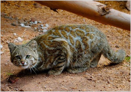 Андская кошка на охоте