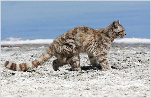 Андская горная кошка