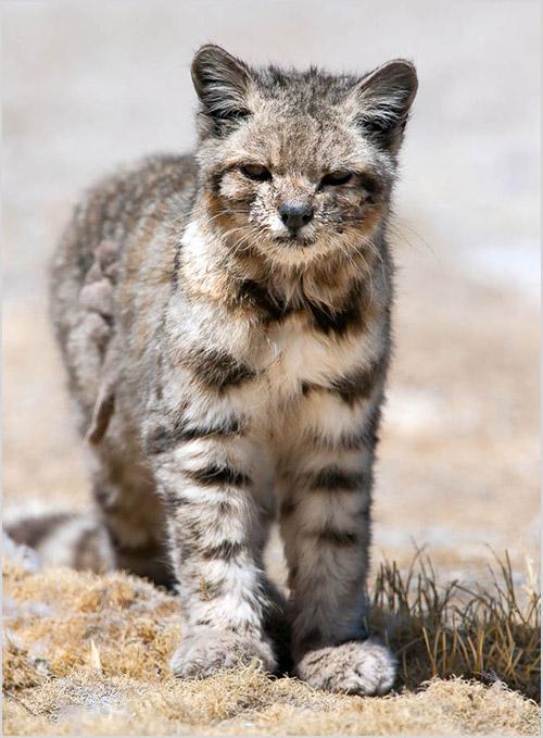 Фото андской кошки