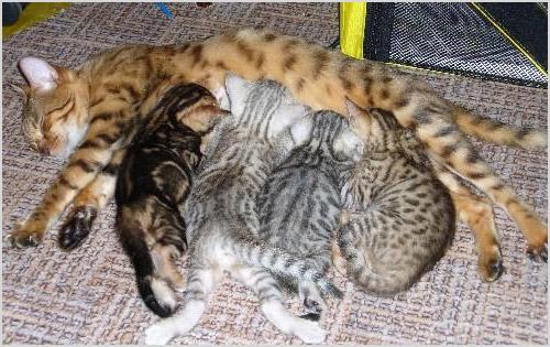 Бенгальская кошка кормит своих котят