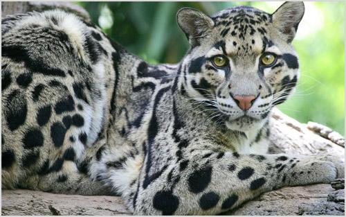 Фото дымчатого леопарда