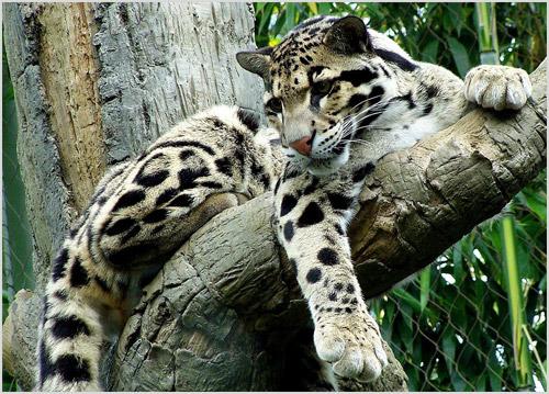 Дымчатый леопард сидит на дереве