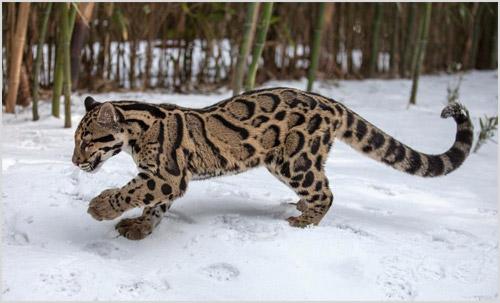 Леопард бегает по снегу