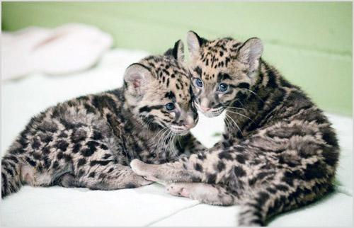 Котята дымчатого леопарда