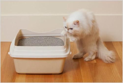 Кот обнюхивает лоток