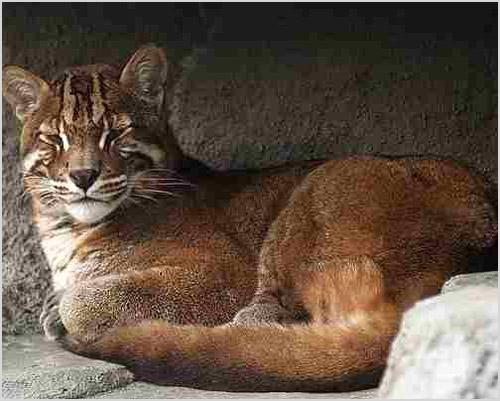 Фото калимантанской кошки