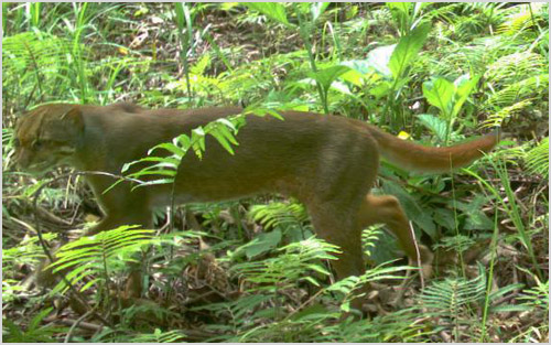 Борнеоская кошка на охоте