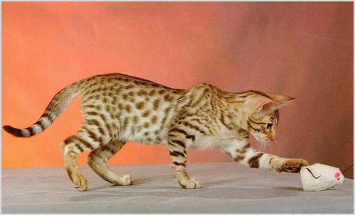 Оцикет играет с мышкой
