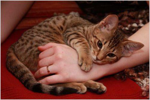 Котенок породы оцикет