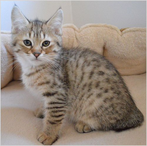 Котенок пиксибоб