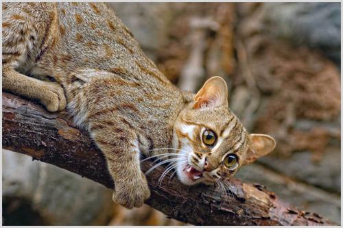 Охота ржавой кошки
