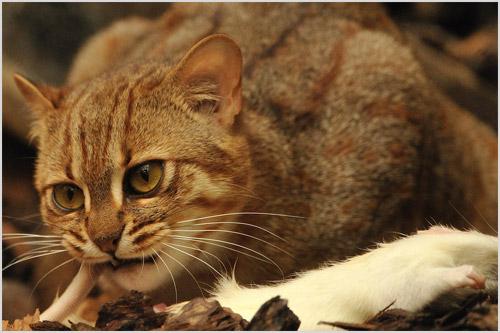 Фото ржавой кошки
