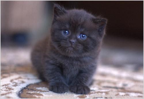 Котенок породы скоттиш-страйт