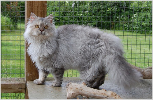 Кошка селкирк рекс