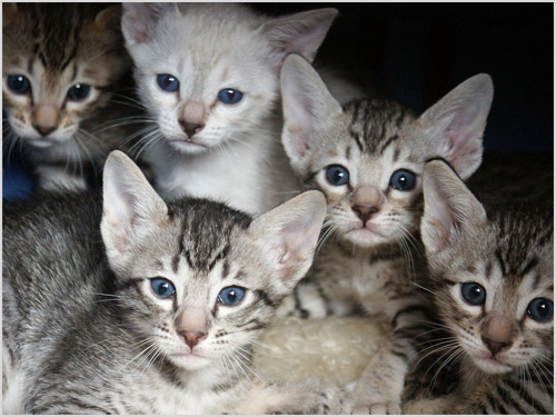Котята породы серенгети