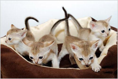 Котята сингапурской кошки