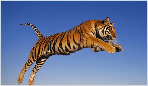 Прыжок тигра