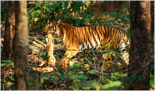 Охота тигра