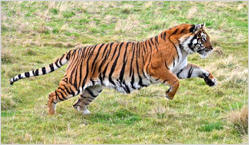 Тигр бежит по траве