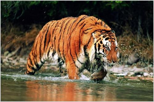 Тигр переходит реку